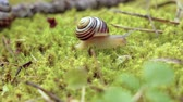 aardbeien : Snail slowly creeping along on green moss Stockvideo