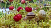ファームハウス : Snail close-up, looking at the red strawberries 動画素材
