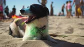 cansado : Dog painted in mixed colors sitting on the hot beach and breathing with opening mouth looking around. At background people enjoying to vacation, swimming and having fun. Families outdoor at weekend