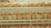 éclosion : Chicken or duck avian eggs in containers ready to transportation to farm incubator. Broiler incubation and breeding concept. People working on the agricultural industrial farmhouse: put the boxes Vidéos Libres De Droits