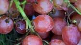 vine branch : Close up shot of red grapes