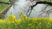 Beautiful yellow flowers on the green field near river in Tokyo Japan