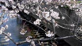 peach blossom tree on Japan Tokyo river near the natural outdoor park