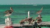 pelikán : Group of pelicans preening on wooden dock with Caribbean ocean in background, Cancun, Mexico