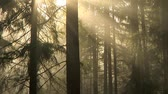 éterický : Early morning light and fog drifting through the trees, time lapse