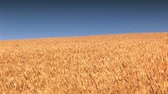 kernels : Wheat Field against a blue sky Stock Footage