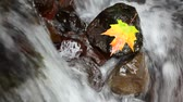 brochura : Maple leaf resting on a rock in the middle of a flowing stream Stock Footage