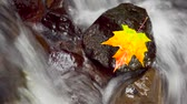 brochura : Maple leaf resting on a rock in the middle of a flowing stream, time lapse and zoom in