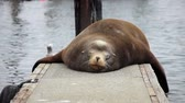 причал : Sleeping Sea lion on a dock at Charleston Boat Harbor, Oregon Стоковые видеозаписи