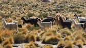 Боливия : Scene from Boliva South America Slow Motion of llamas running free