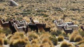 arjantin : Scene from Boliva South America Slow Motion of llamas running free