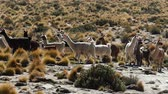 latin amerika : Scene from Boliva South America Slow Motion of llamas running free