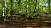de faia : Beech Fields in Early Autumn Panoramic View.  Sun rays crossing the beech leaves in Fall. Pan assist with a Gennie Mini. Natural landscape of La Fageda, Girona.