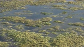 ervas daninhas : Slimy, green floating water algae on the pond surface. Green weeds growing on water surface, acidifying water