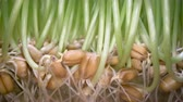 semi : Growing edible grass at home. Green sprouts coming out of seeds in white pot, bio food, healthy eating lifestyle