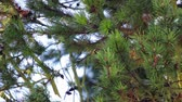 Green pine tree dancing on the wind during winter.