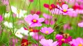 purple : HD: Field of pink flowers in beautiful day, 1920x1080 Stock Footage