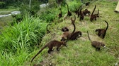 etobur hayvan : Colony of Cute Coati (Nasua) looking for food in the jungle in Panama Stok Video