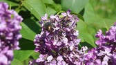litwa : Beetle crawling on the flowers of lilac