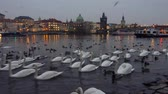 november : Prague, Czech Republic - November 25, 2016: Lot of swans and ducks in the river Vltava, with a view of the Charles Bridge Stock Footage