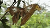 mariposa : a clip of an atlas moth on a cocoon