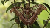 насекомые : clip of 2 large atlas moths Стоковые видеозаписи