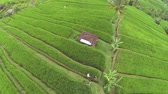 drone footage of a paddy field in Bali Stock Footage
