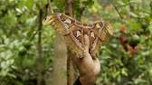 clip an atlas moth being held and flying off from a hand