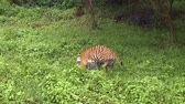 HD 1080p resolution of a male tamed Bengal tiger running and playing around with an Indonesian man in a green forest in Indonesia Stock Footage