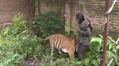 HD 1080p resolution of an Indonesian man playing with a male tamed Bengal tiger while holding a small camera in the forest of Indonesia Stock Footage