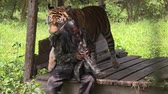 HD 1080p resolution of an Indonesian man being playfully bitten by a male tamed Bengal tiger in the forest of Indonesia Stock Footage