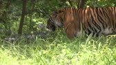HD 1080p resolution of a male wild Bengal tiger slowly walking in the jungle with long grass and trees in Indonesia
