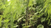 HD 1080p resolution of tropical forest and a huge green lizard stuck and eaten by a green small snake in between the leaves in Indonesia Stock Footage