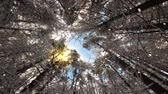 supine : Look up at the magic treetops swaying in the winter wind Stock Footage