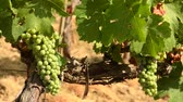 белое вино : Bunches of white grapes in a Chianti vineyard on a sunny day. Tuscany, Italy. Стоковые видеозаписи