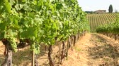 тосканский : Beautiful vineyards in Chianti region during summer season in Tuscany, Italy. Стоковые видеозаписи