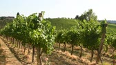 toscano : Beautiful vineyards in Chianti region during summer season in Tuscany, Italy. Stock Footage