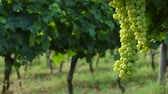 тосканский : Bunches of white grapes in a Chianti vineyard on a sunny day. Tuscany, Italy. Стоковые видеозаписи