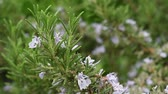 rosmarinus : rosemary plant close-up.