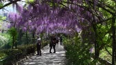jediný květ : 23 April 2018: The famous wisteria tunnel at Bardini garden in Florence, Italy. Full bloomed purple wisteria.
