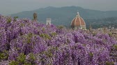 wisteria : Cathedral of Saint Mary of the Flower in Florence as seen from Bardini Garden with blooming purple wisteria.