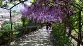 wisteria : 23 April 2018: The famous wisteria tunnel at Bardini garden in Florence, Italy. Full bloomed purple wisteria.