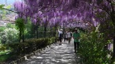 Флоренция : 23 April 2018: The famous wisteria tunnel at Bardini garden in Florence, Italy. Full bloomed purple wisteria.