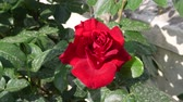 цветочный узор : beautiful red rose during spring season.