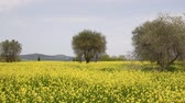 toscana : Pienza (Siena), Italy - Beautiful field of yellow flowers with olive trees.