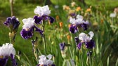 Флоренция : irises flower moving in the wind in a garden, Italy.