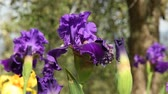 tomurcukları : purple irises moving on the wind in a famous florence garden, Italy. Stok Video