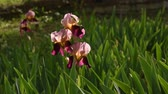 gomos : Springtime. Beautiful irises moving in the wind in a famous Florence garden, Italy.