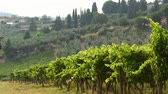 toszkána : Summer season, green vineyards moving in the wind in Chianti region, Tuscany. Italy.