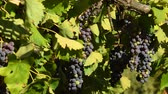 vinho tinto : red grapes on vineyards in Chianti region. Tuscany, Italy.